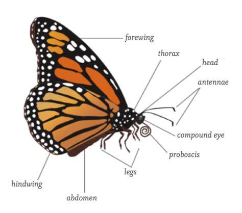 diagram of a butterfly tropical rainforest butterflies moths and pollination