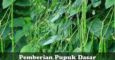 Benih Kacang Panjang Berkualitas inilah pupuk dasar untuk tanaman kacang panjang yang bagus