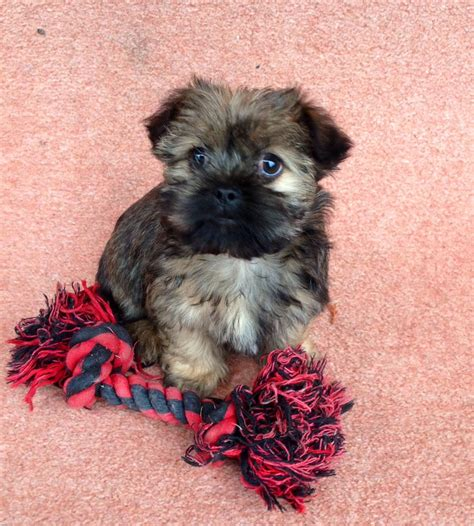 yorkie shih tzu for sale yorkie x shih tzu puppy for sale llanfyllin powys pets4homes