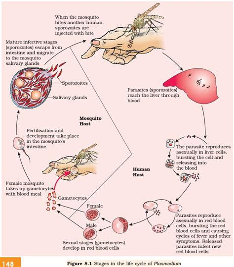 pathophysiology of malaria diagram malaria cycle diagram malaria mosquito elsavadorla
