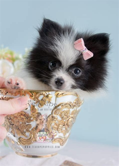 teacup pomeranian miami pomeranian puppies for sale in south florida teacup pomeranians for breeds picture