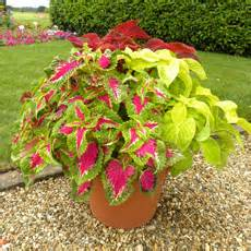 plants for containers plants for a purpose thompson