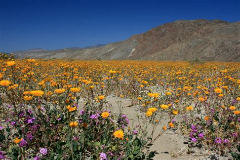 anzo borrego wildflowers in anza borrego desert state park the desert