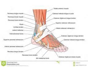 tendons du pied illustration de vecteur image 54203544