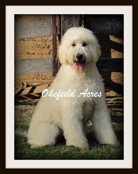 grooming springfield mo 26 best goldendoodle grooming images on golden doodles goldendoodle