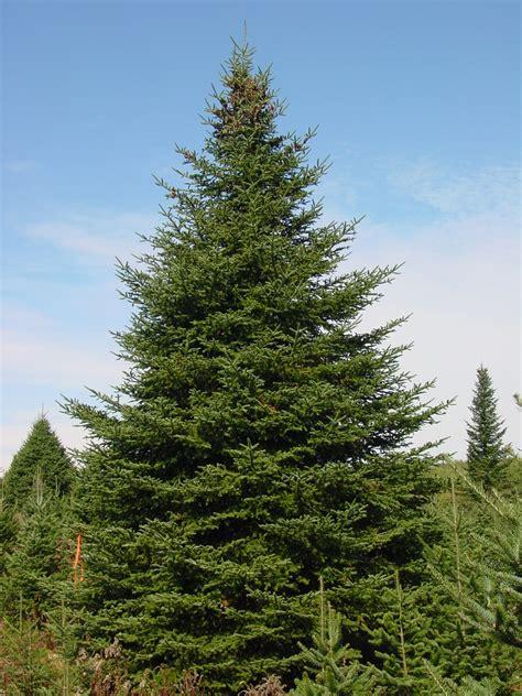 balsam tree balsam fir tree taiga