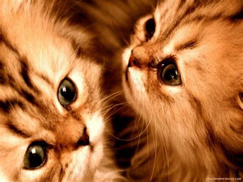 pin caricaturas de gatos gatitos tiernos imagenes
