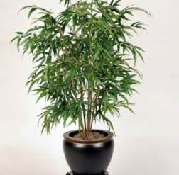 best low light indoor trees bamboo l photo bamboo indoor plants