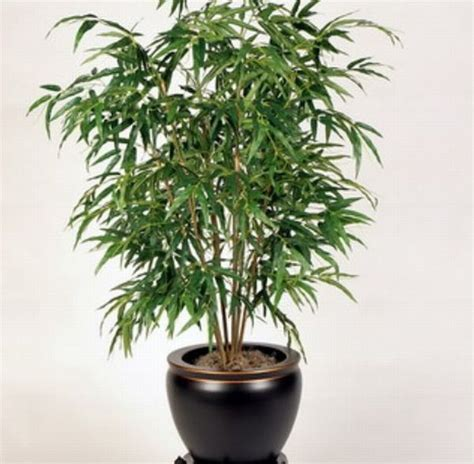plants for indoors bamboo l photo bamboo indoor plants