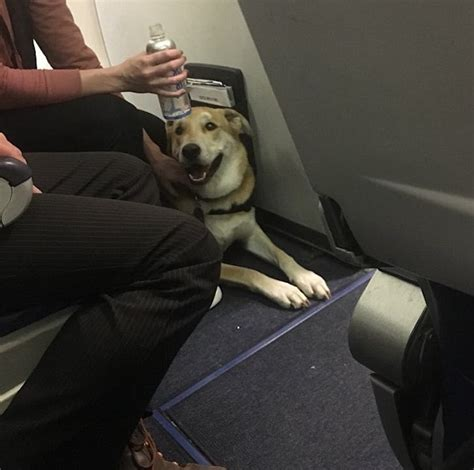 southwest airlines dogs southwest airlines emotional support bites six year leads to debate