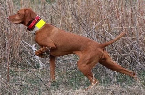 vizsla puppies oregon vizslas oregon wirehaired pointing griffons breeders