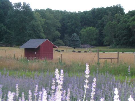 when is lavender in season in michigan lavender hill farm of niles mi localharvest