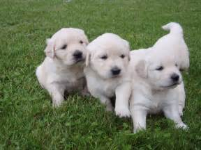 Golden retriever puppies 3 puppies jpg