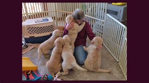 golden retriever puppies central illinois golden retriever breeders golden retriever stud dogs golden retriever central