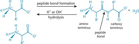 protein hydrolysis peptide bond formation and hydrolysis amino acids