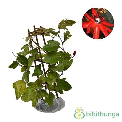 Jual Bibit Markisa Merah tanaman passiflora merah flower jual