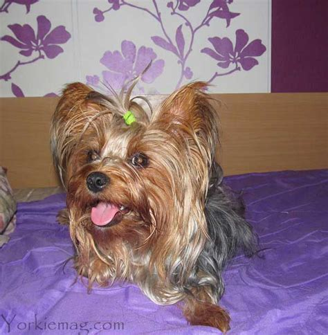 common illnesses in yorkies yorkie health problems terrier health issues yorkiemag