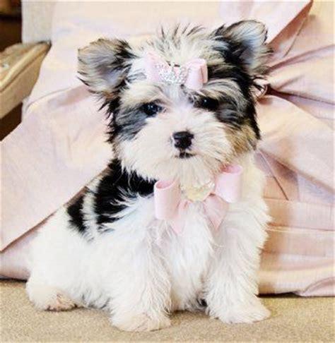 biewer yorkie teacup teacup biewer morkie princess sold to a loving home in florida morkie puppies