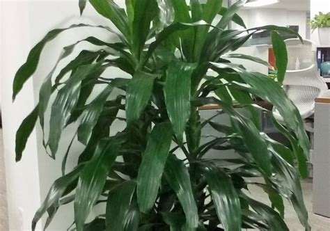 buy house plants now dracaena branched warneckii plant care for dracaena janet craig house plants