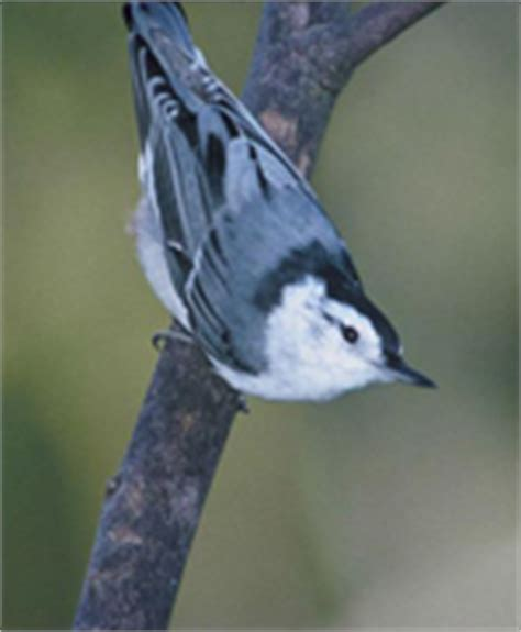 birdhouses from the valley nuthatch information