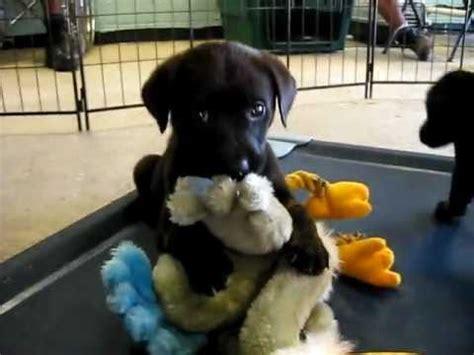 golden retriever black lab mix puppies 3 golden retriever black lab mix puppies