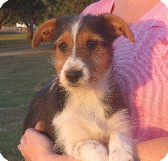 sheltie yorkie mix salem nh sheltie shetland sheepdog yorkie terrier mix meet renee a