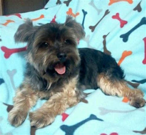 yorkie animal rescue adoption center in bethel ct rescue shelter dogs personal
