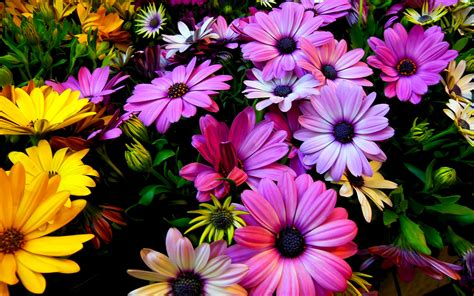 flower wallpaper 1366x768 purple yellow daisy flowers wallpapers hd wallpapers