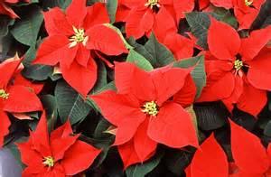poinsettias free stock photo red poinsettia flowers