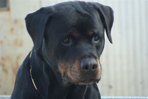 all black rottweiler related keywords suggestions for solid black rottweiler