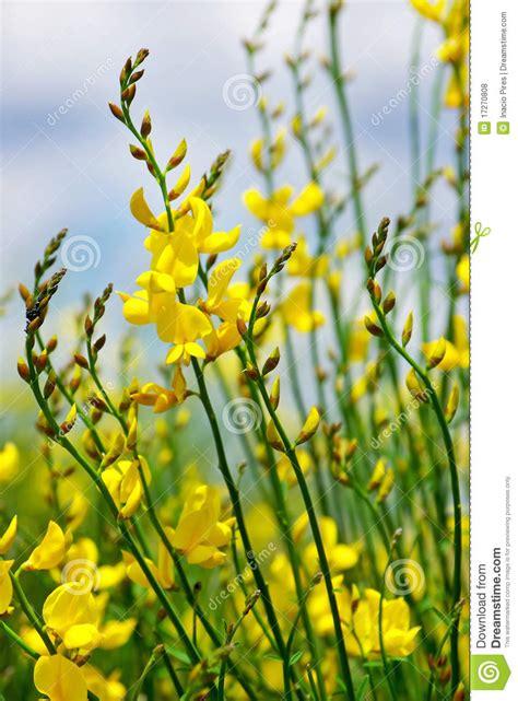 fiori gialli selvatici fiori selvatici gialli gpsreviewspot