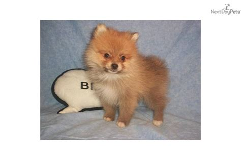 pomeranian ohio pomeranian puppy for sale near zanesville cambridge ohio d748d977 b131