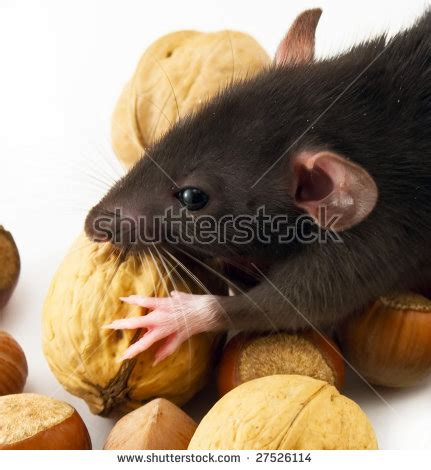 house rat eating nuts stock photo 27526114 shutterstock