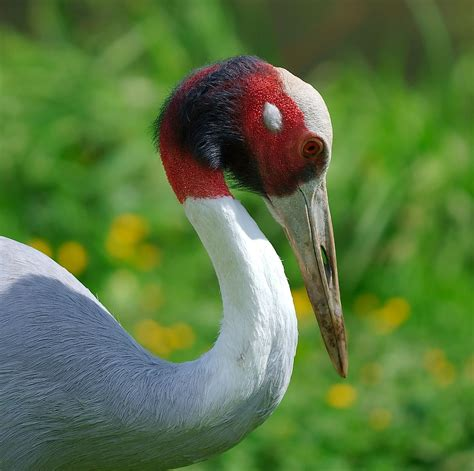 Eagle Flamingo Grey Blue sarus crane