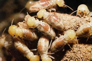 worlds worst termite   south east queensland