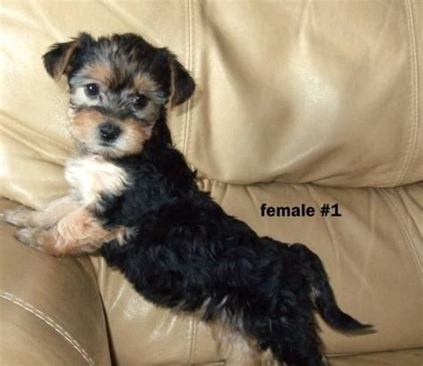bichon yorkie mix puppies bichon yorkie mixed puppies my has issues breeds picture