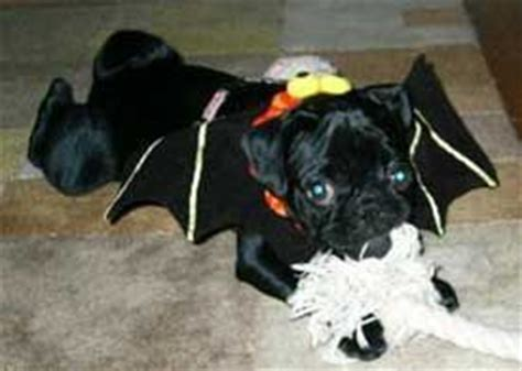 pug with wings 137 best images about pugs on chugs pug and pug costumes