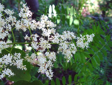lilac tree information syringa reticulata japanese tree lilac go botany