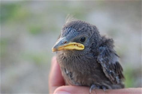 baby starling diet pictures to pin on pinterest pinsdaddy