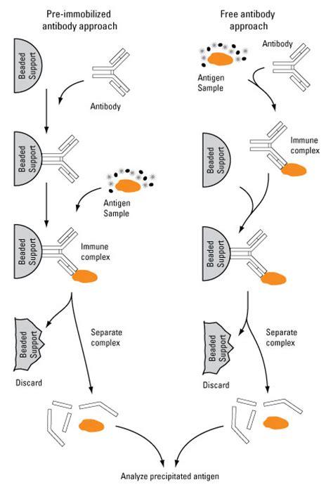 sepharose immunoprecipitation immunoprecipitation