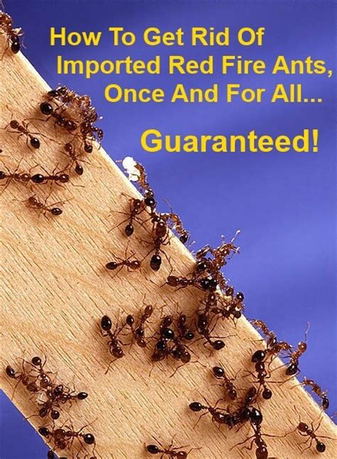 how to get rid of fire ants in the house how to get rid of fire ants