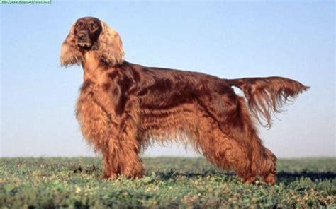 irish setter gun dog top 10 best hunting dog breeds the dog digest