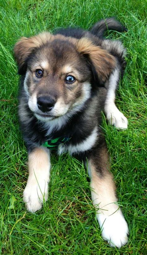 husky mix with golden retriever the goberian husky golden retriever mix mini husky