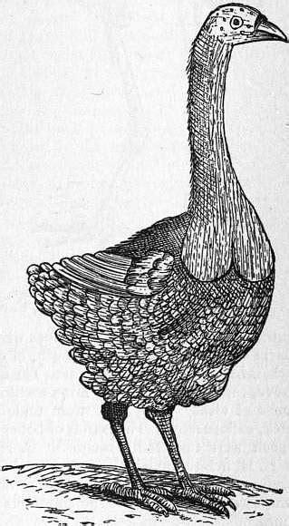 Dronte de Rodrigues — Wikipédia