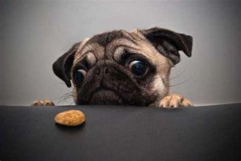 cookie pug pug wants cookie teh