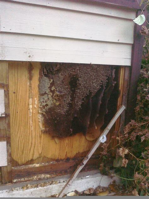 bees nest in siding of house honey bees in house siding 28 images tiny white ants in kitchen bee nest in house