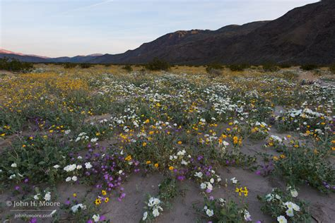 anza borrego wildflowers 2017 100 anza borrego wildflowers anza borrego desert state park wildflowers the anza