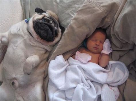 baby and pugs pugs