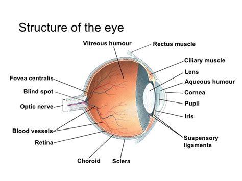 eyeball diagram labeled image gallery labled human eyeball