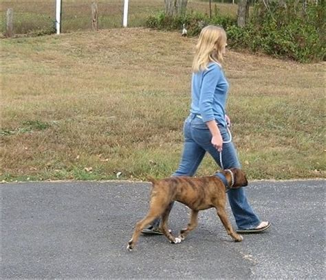 when do puppies start to walk the walk the proper way to walk your walking